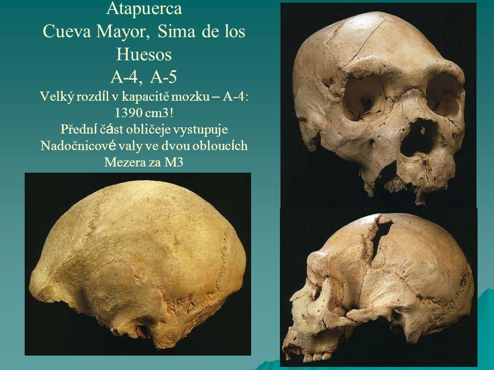 Atapuerca Cueva Mayor, Sima de los Huesos A-4, A-5 Velký rozd í l v kapacitě mozku – A-4: 1390 cm3.