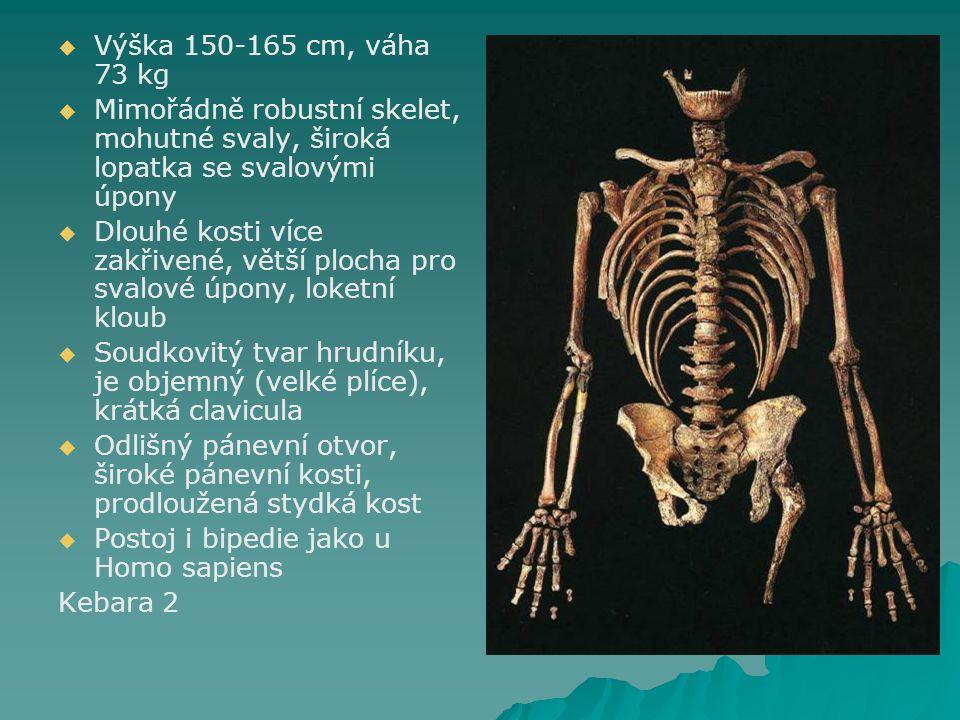   Výška 150-165 cm, váha 73 kg   Mimořádně robustní skelet, mohutné svaly, široká lopatka se svalovými úpony   Dlouhé kosti více zakřivené, větší plocha pro svalové úpony, loketní kloub   Soudkovitý tvar hrudníku, je objemný (velké plíce), krátká clavicula   Odlišný pánevní otvor, široké pánevní kosti, prodloužená stydká kost   Postoj i bipedie jako u Homo sapiens Kebara 2