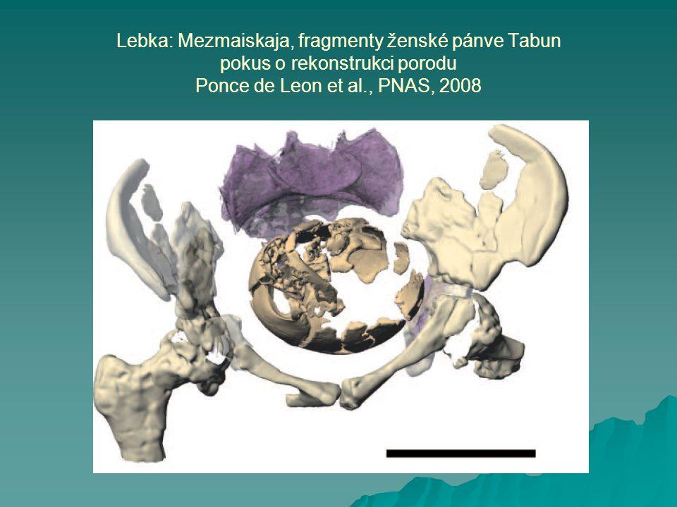 Lebka: Mezmaiskaja, fragmenty ženské pánve Tabun pokus o rekonstrukci porodu Ponce de Leon et al., PNAS, 2008
