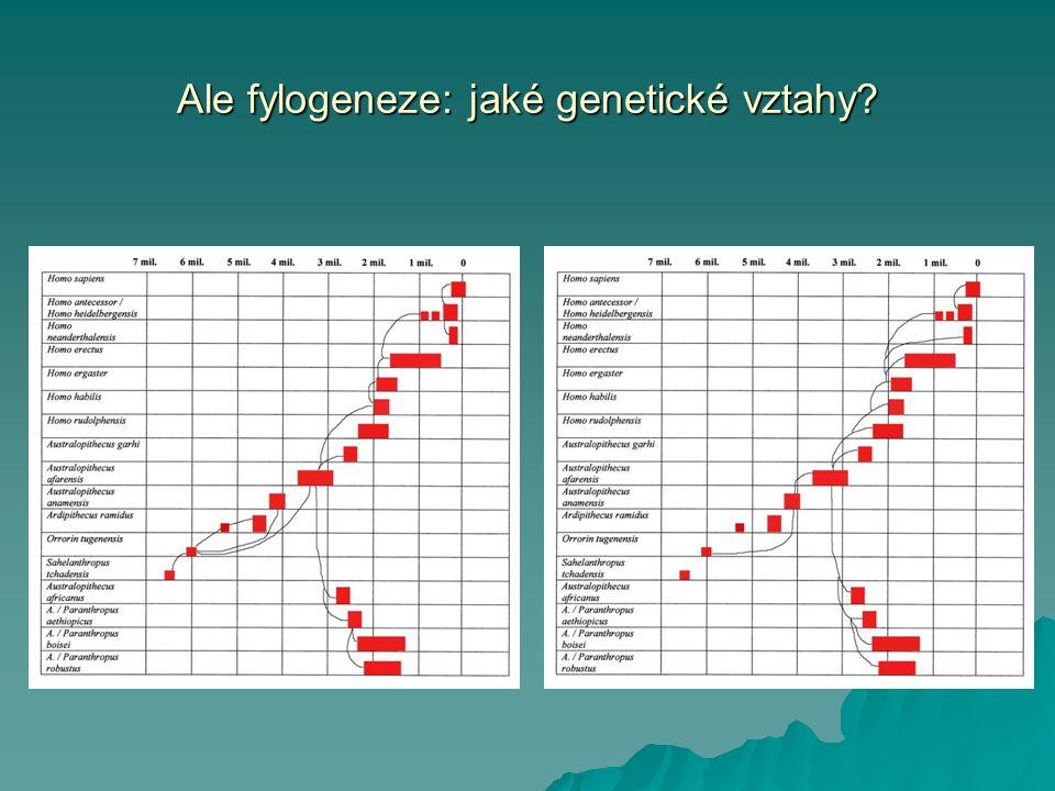"""Homo heidelbergensis 0,7-0,2 my ( """" preneandert á lec , """" anteneandert á lec """" archaický Homo sapiens )   Holotyp: Mauer-1, u Heidelbergu, Roesch, Schoetensack 1907   Zvětšování objemu mozkovny (1100-1390 cm3)   Úzká, výrazně ustupující mozkovna, masívní lebeční kosti   Gracilizace obličejové kostry, velký obličej, strmá profilová linie   Masívní nadočnicové oblouky   Zaoblení týlu/nevýrazný torus   Postkraniál: robustní, silné kosti, mohutné svaly"""