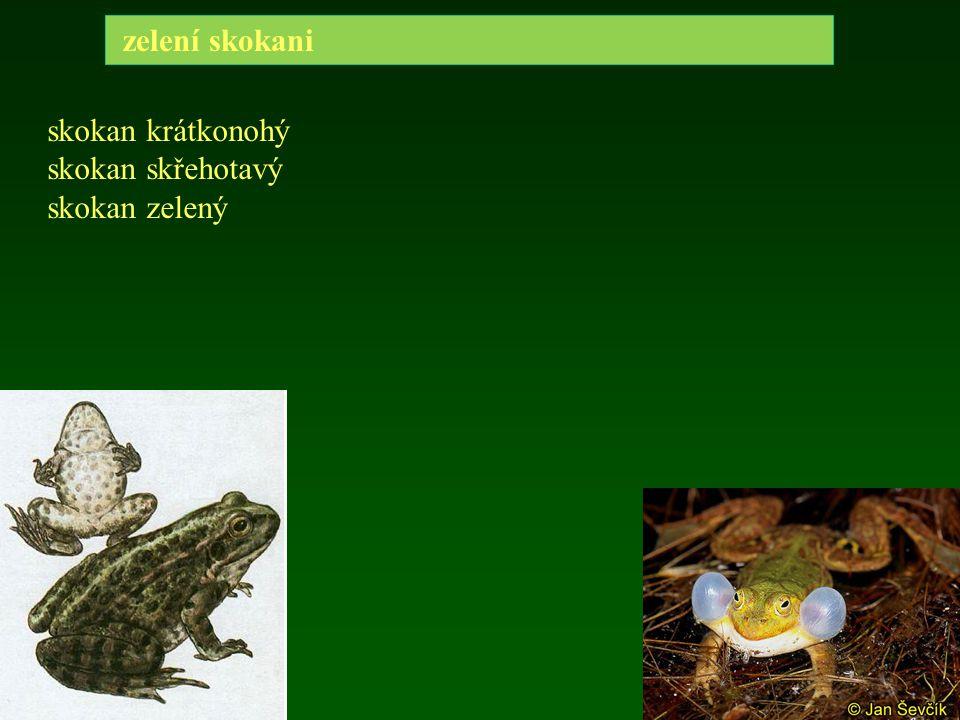 zelení skokani skokan krátkonohý skokan skřehotavý skokan zelený