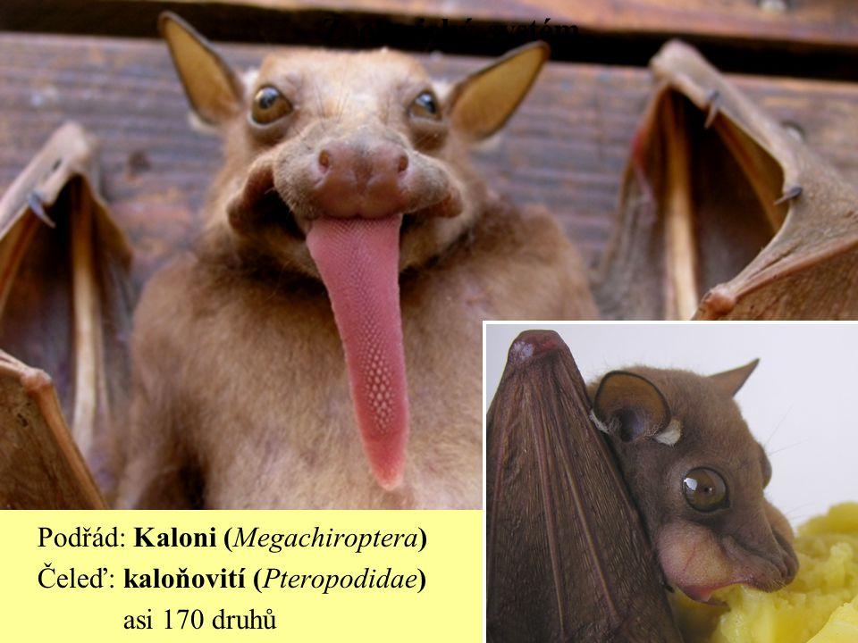 Zoologický systém Podřád: Kaloni (Megachiroptera) Čeleď: kaloňovití (Pteropodidae) asi 170 druhů