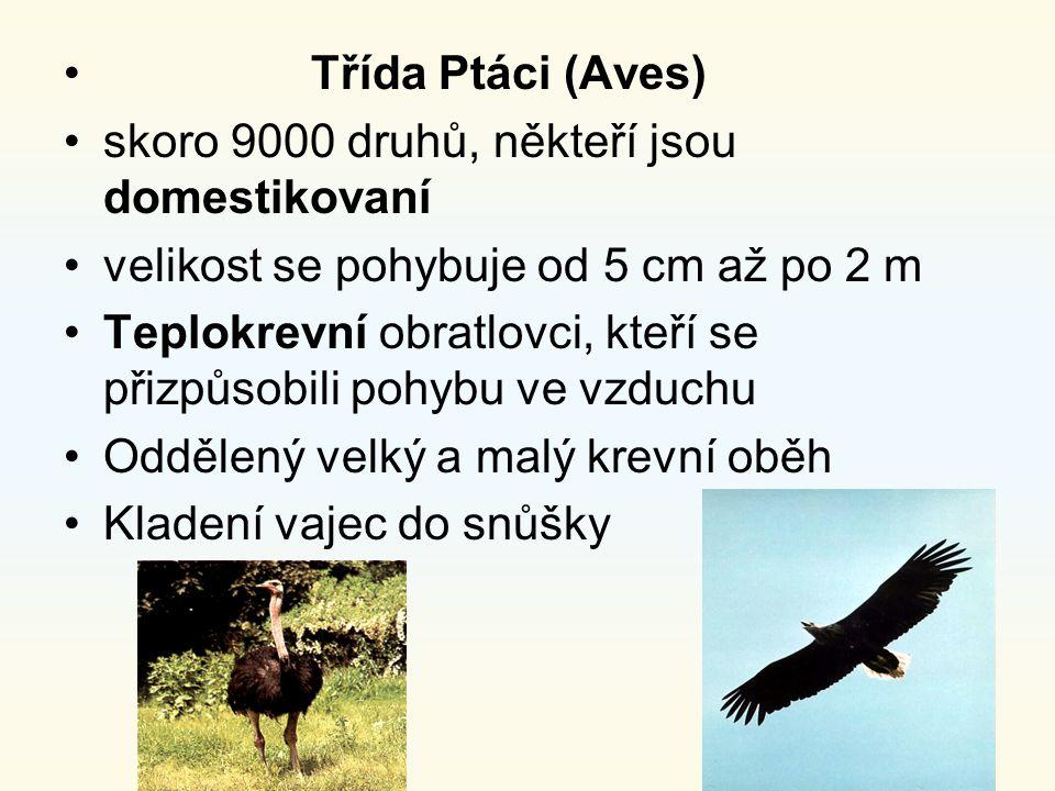 Třída Ptáci (Aves) skoro 9000 druhů, někteří jsou domestikovaní velikost se pohybuje od 5 cm až po 2 m Teplokrevní obratlovci, kteří se přizpůsobili p
