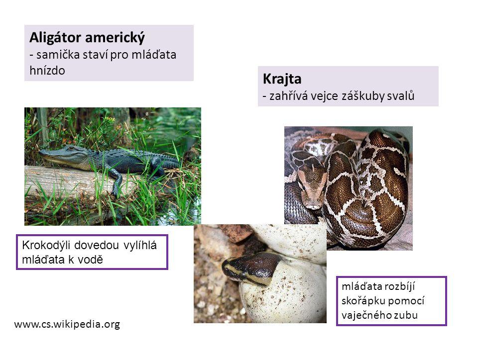 Aligátor americký - samička staví pro mláďata hnízdo Krajta - zahřívá vejce záškuby svalů www.cs.wikipedia.org mláďata rozbíjí skořápku pomocí vaječné