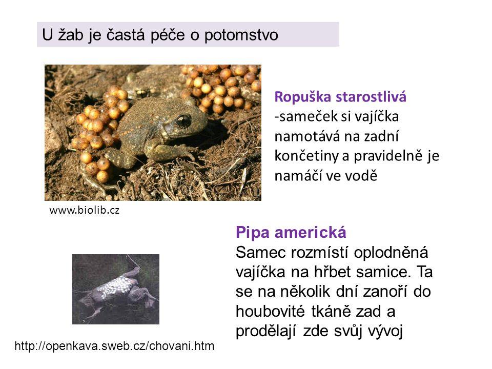 Ropuška starostlivá -sameček si vajíčka namotává na zadní končetiny a pravidelně je namáčí ve vodě www.biolib.cz U žab je častá péče o potomstvo Pipa