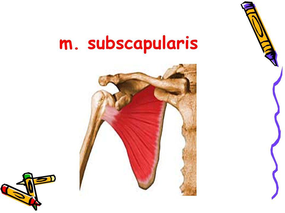 m. subscapularis