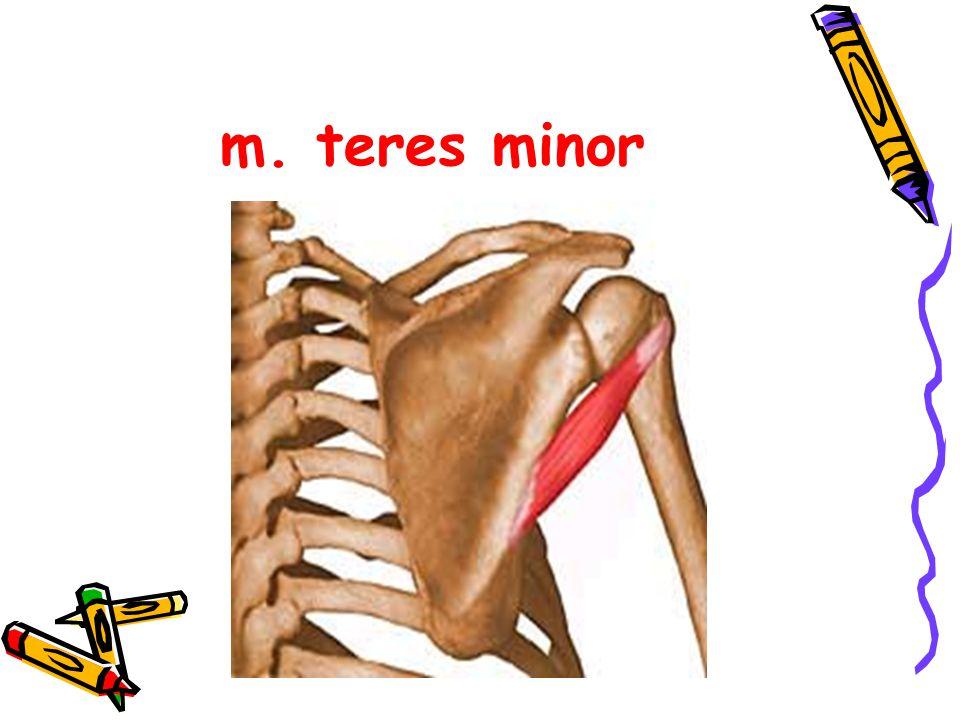 m. teres minor
