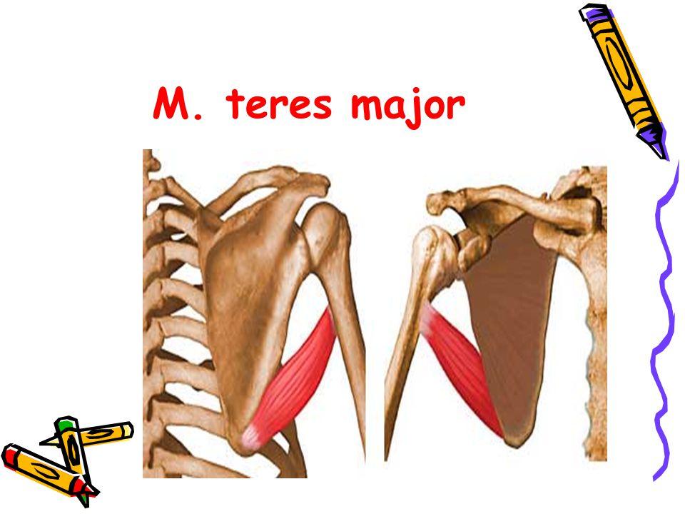 M. teres major