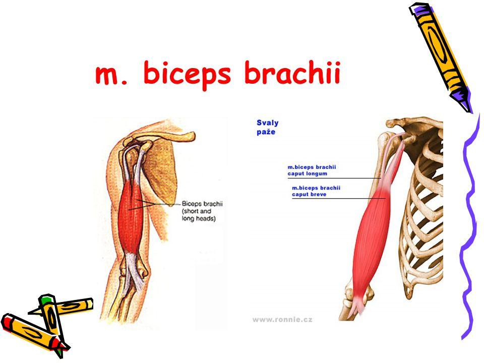 m. biceps brachii
