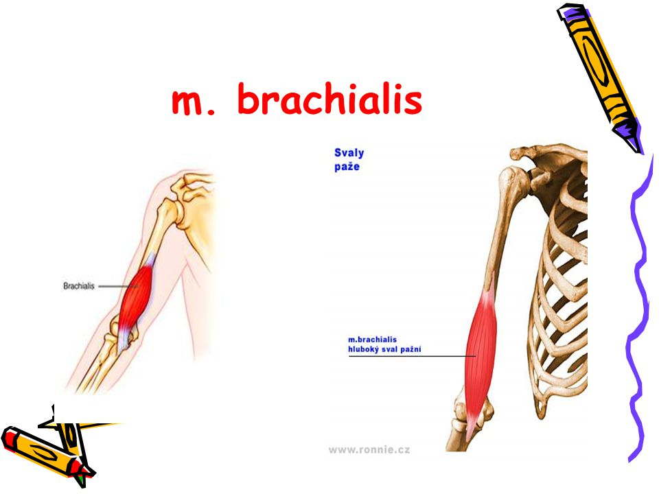 m. brachialis