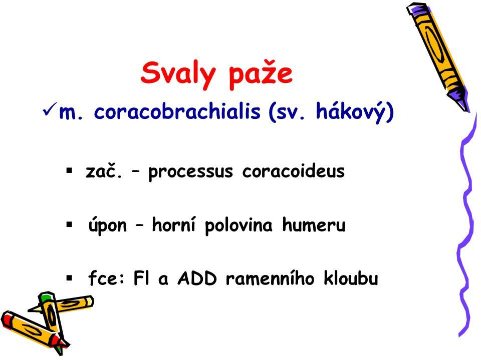 Svaly paže m. coracobrachialis (sv. hákový)  zač. – processus coracoideus  úpon – horní polovina humeru  fce: Fl a ADD ramenního kloubu