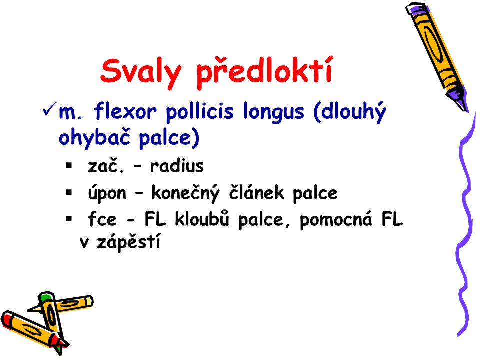 Svaly předloktí m. flexor pollicis longus (dlouhý ohybač palce)  zač. – radius  úpon – konečný článek palce  fce - FL kloubů palce, pomocná FL v zá