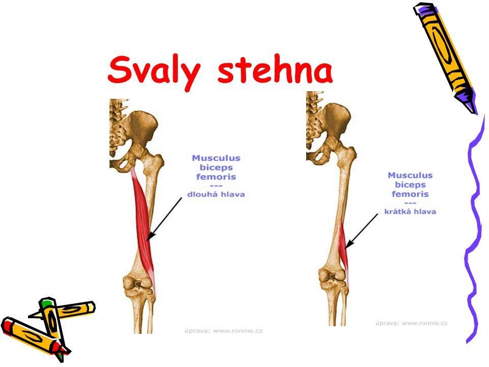 Svaly stehna