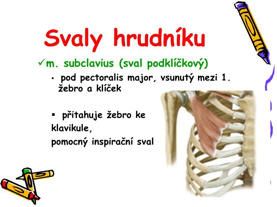 m. subclavius (sval podklíčkový)  pod pectoralis major, vsunutý mezi 1. žebro a klíček  přitahuje žebro ke klavikule, pomocný inspirační sval