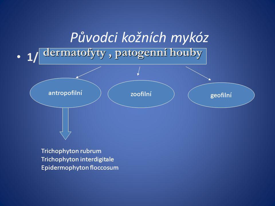 Původci kožních mykóz 1/ dermatofyty, patogenní houby antropofilní zoofilní geofilní Trichophyton rubrum Trichophyton interdigitale Epidermophyton flo
