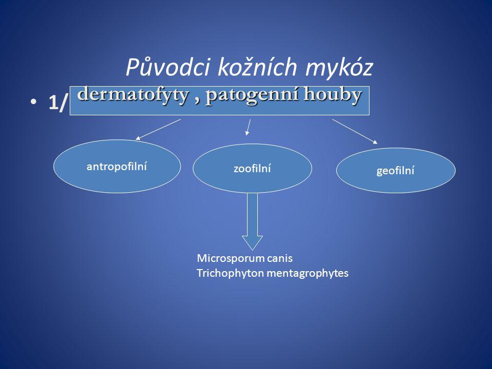 Jiné mykotické infekce Pityriasis versicolor: Častá povrchová infekce s pityriaziformně se olupujícími projevy Vznik podporuje vlhko a teplo Etiologie: Malassezia furfur ( dříve jako Pityrosporum ovale)