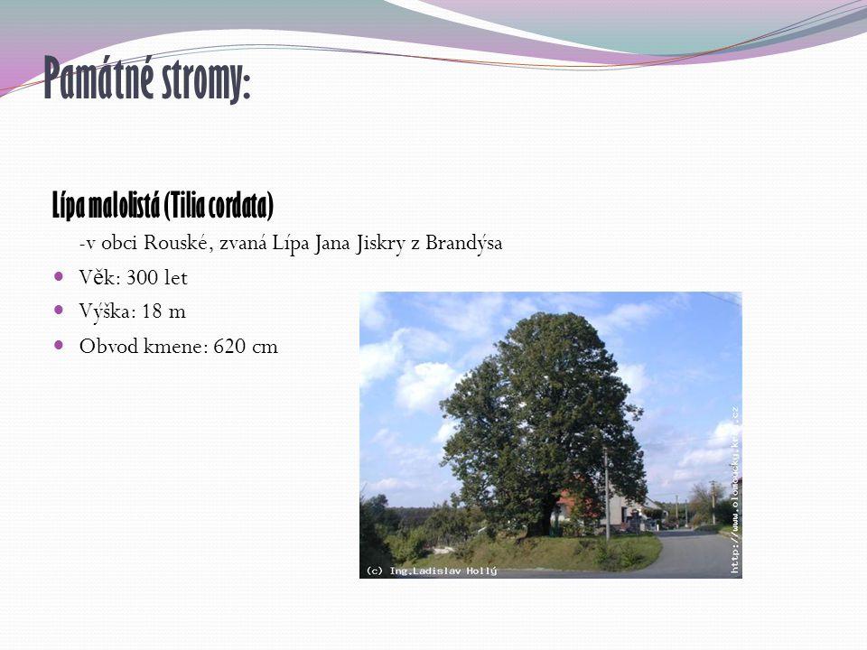 Památné stromy: Lípa malolistá (Tilia cordata) -v obci Rouské, zvaná Lípa Jana Jiskry z Brandýsa V ě k: 300 let Výška: 18 m Obvod kmene: 620 cm