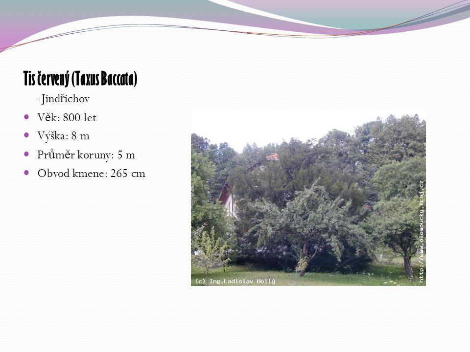 Tis červený (Taxus Baccata) -Jind ř ichov V ě k: 800 let Výška: 8 m Pr ů m ě r koruny: 5 m Obvod kmene: 265 cm