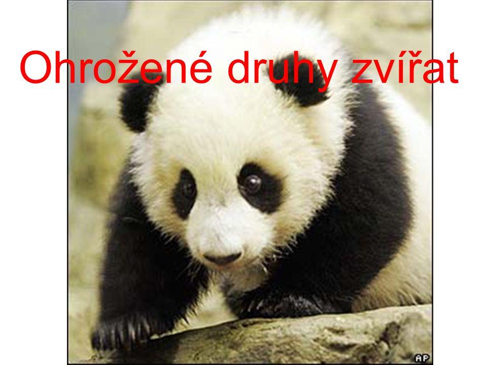 Panda velká -kriticky ohrožená -obývá lesy mírného pásma,jehličnaté lesy a horské oblasti Délka1,5 - 2 m Hmotnost70 – 160 kg Rozšířenístř.