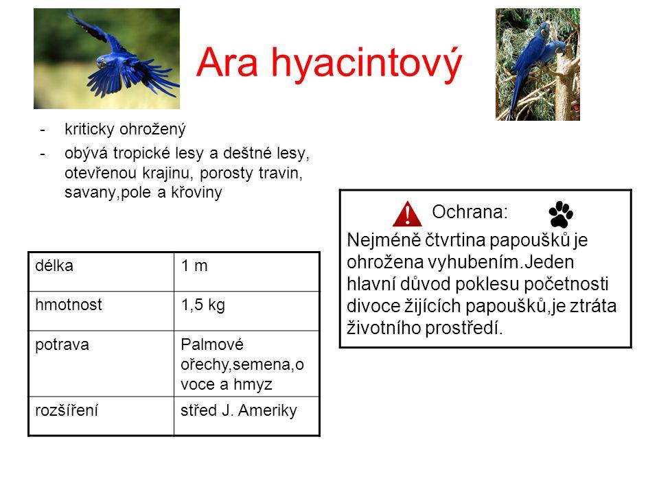 Ara hyacintový -kriticky ohrožený -obývá tropické lesy a deštné lesy, otevřenou krajinu, porosty travin, savany,pole a křoviny délka1 m hmotnost1,5 kg