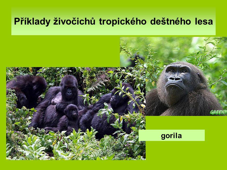 Příklady živočichů tropického deštného lesa gorila