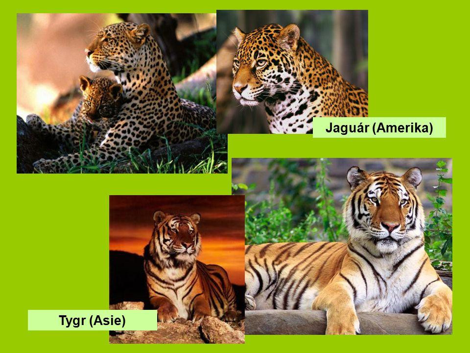 Tygr (Asie) Jaguár (Amerika)