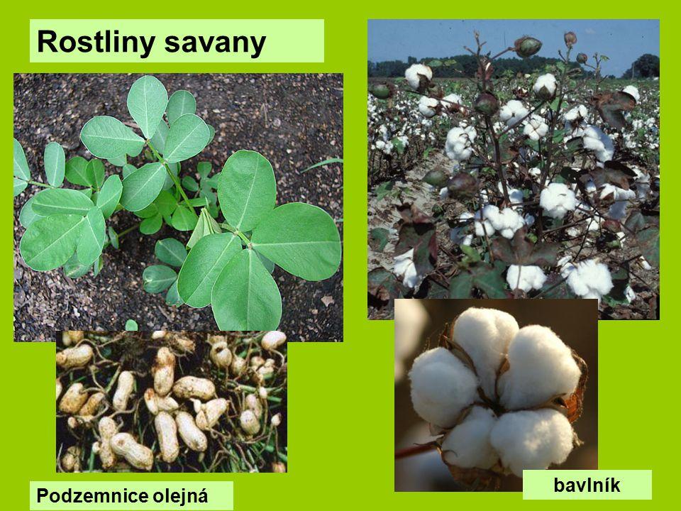 Rostliny savany Podzemnice olejná bavlník