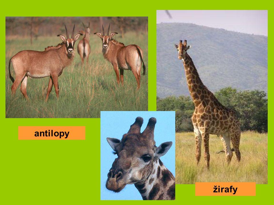 antilopy žirafy