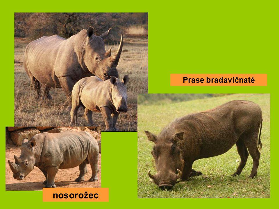 nosorožec Prase bradavičnaté