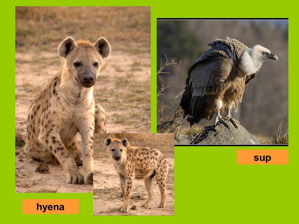 hyena sup