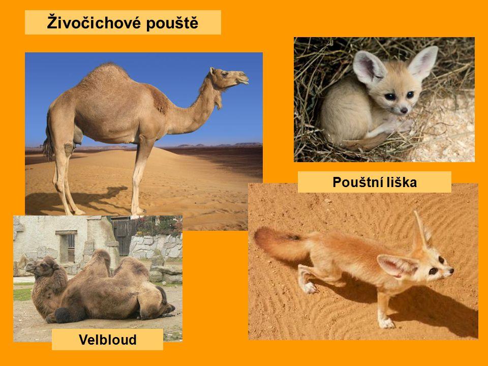 Živočichové pouště Velbloud Pouštní liška
