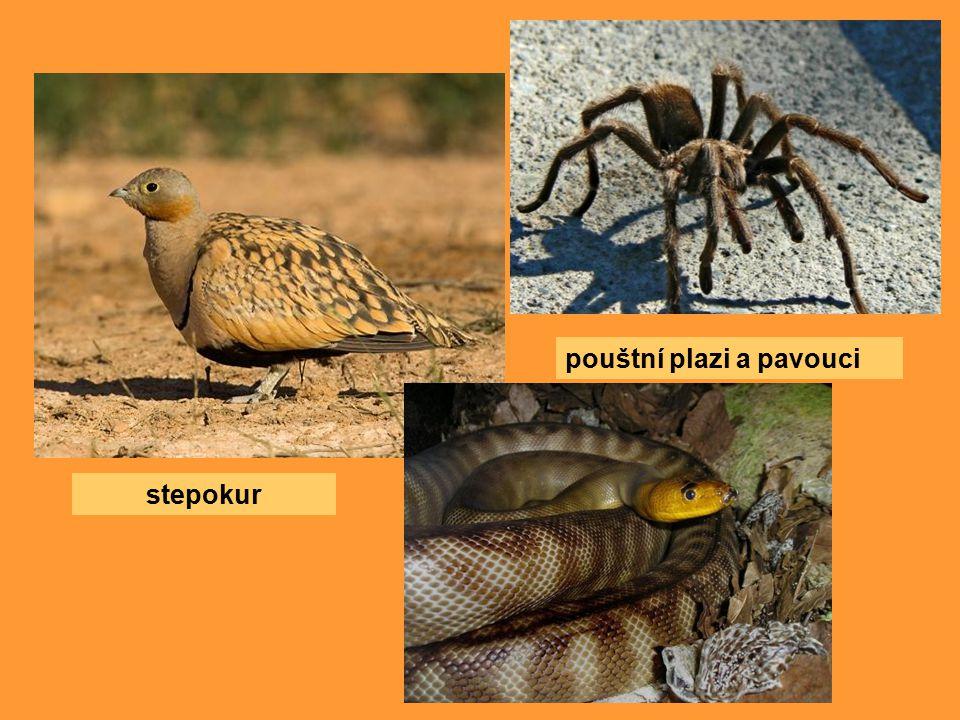 stepokur pouštní plazi a pavouci