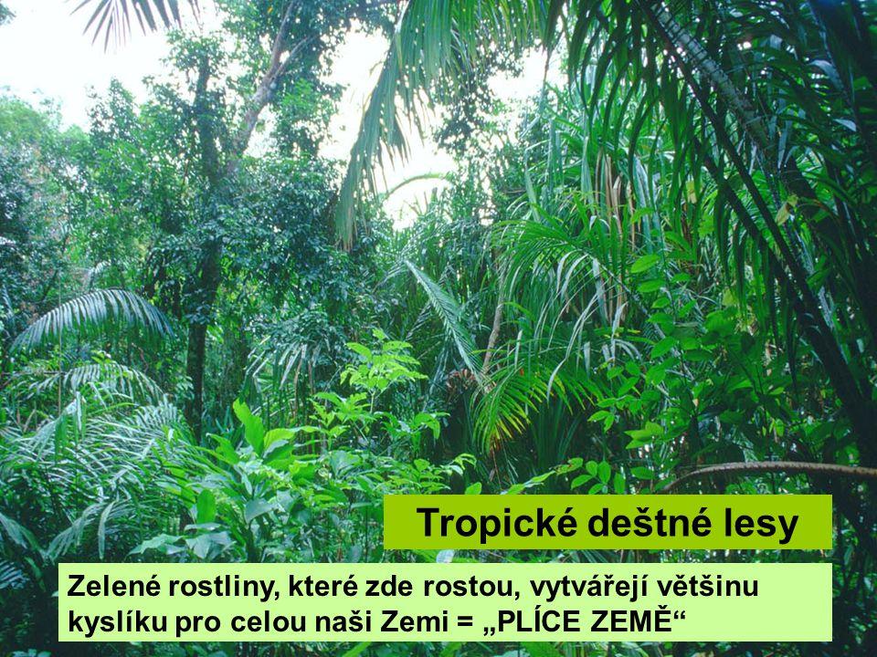 """Tropické deštné lesy Zelené rostliny, které zde rostou, vytvářejí většinu kyslíku pro celou naši Zemi = """"PLÍCE ZEMĚ"""""""