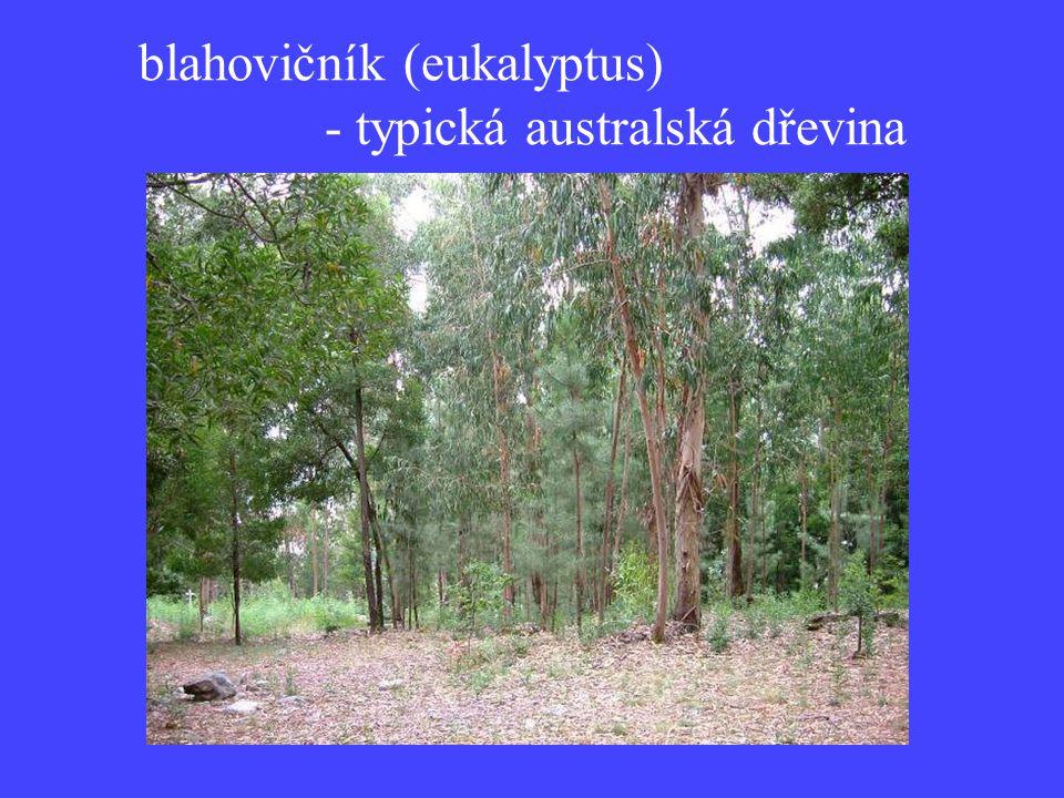 blahovičník (eukalyptus) - typická australská dřevina