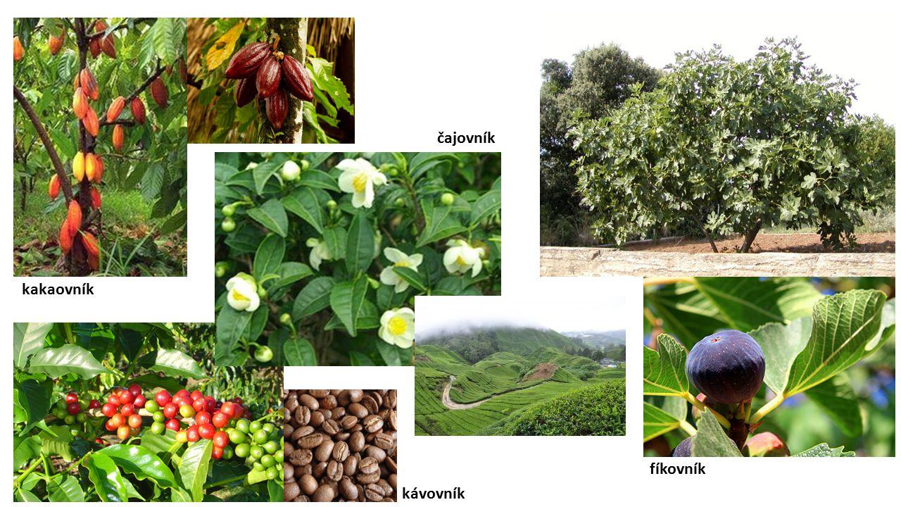 kakaovník kávovník čajovník fíkovník