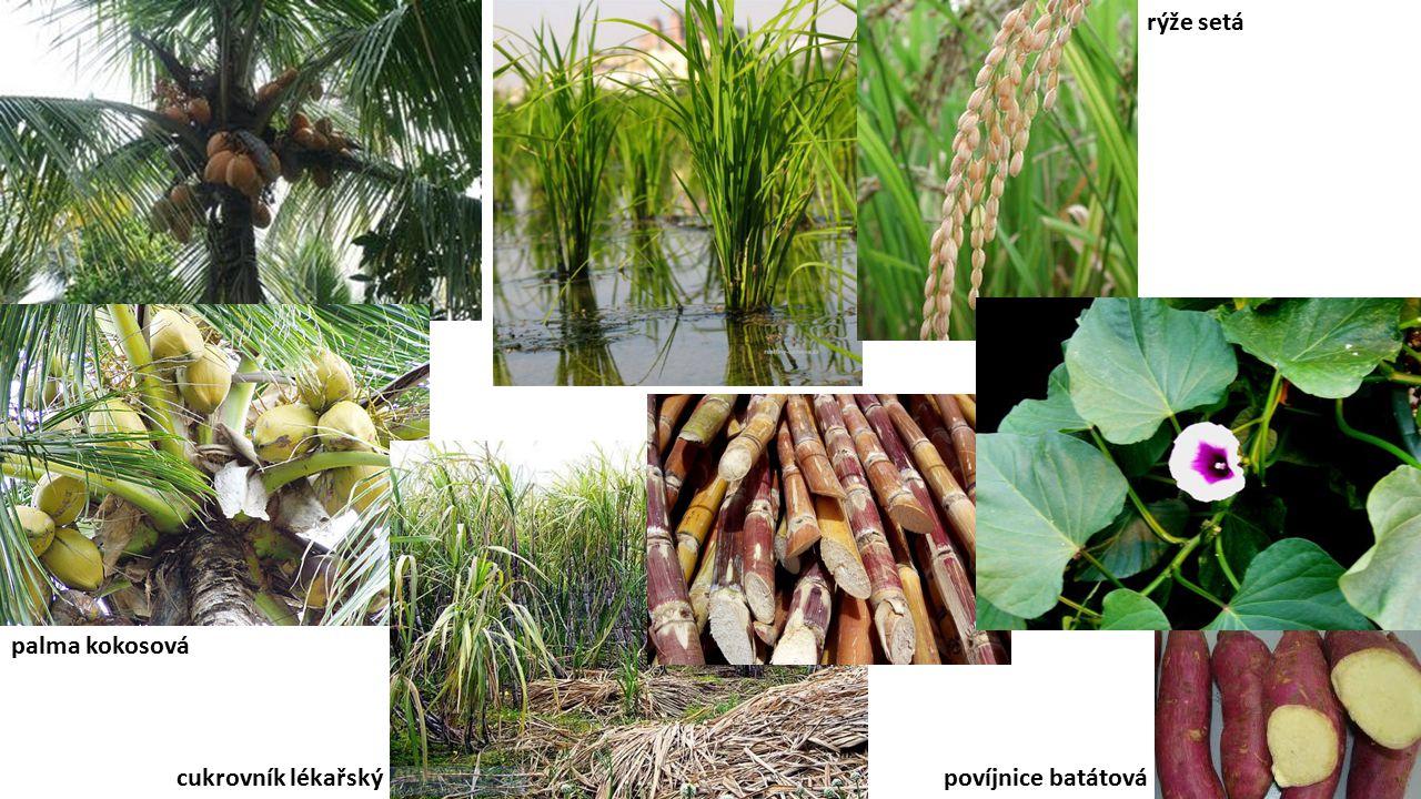 palma kokosová cukrovník lékařský rýže setá povíjnice batátová