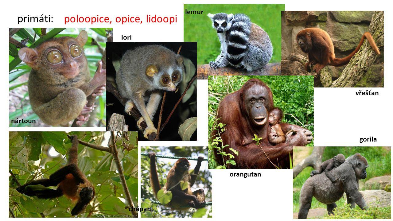 primáti: poloopice, opice, lidoopi nártoun lori lemur vřešťan chápan orangutan gorila