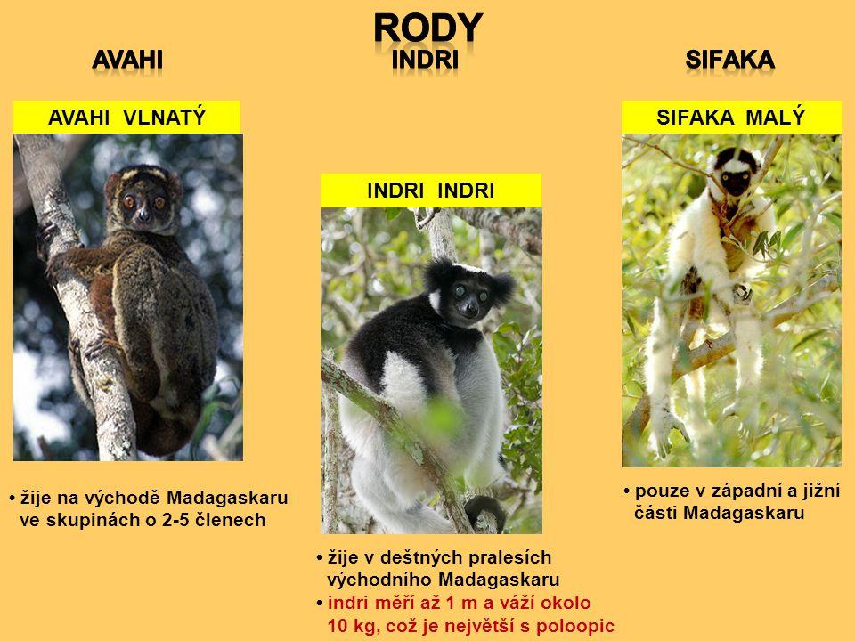 AVAHI VLNATÝ INDRI SIFAKA MALÝ pouze v západní a jižní části Madagaskaru žije v deštných pralesích východního Madagaskaru indri měří až 1 m a váží oko
