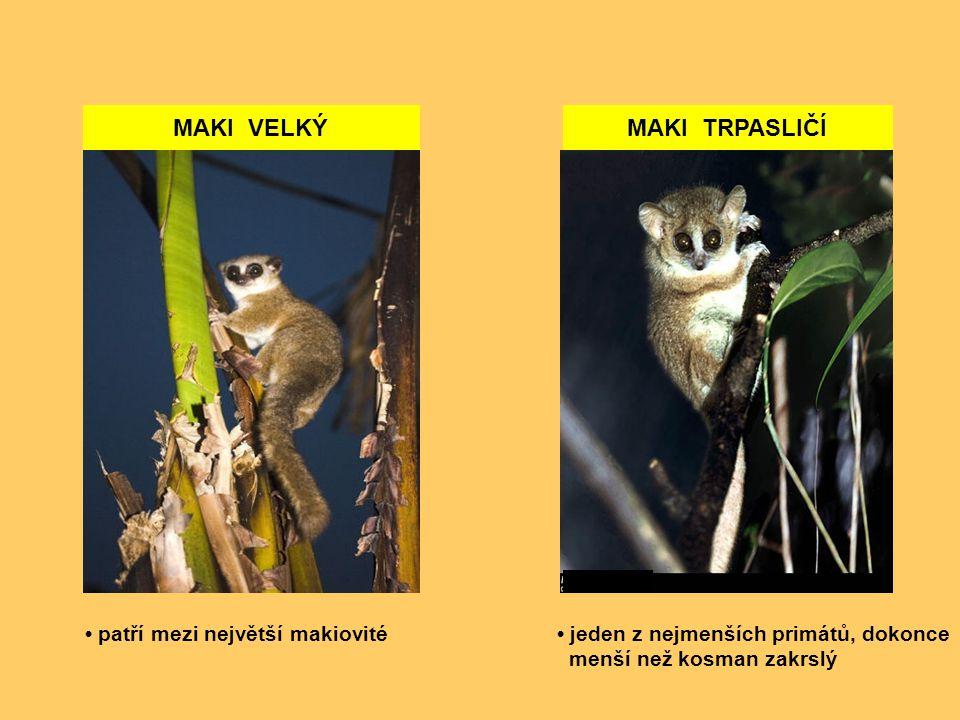 MAKI VELKÝMAKI TRPASLIČÍ jeden z nejmenších primátů, dokonce menší než kosman zakrslý patří mezi největší makiovité