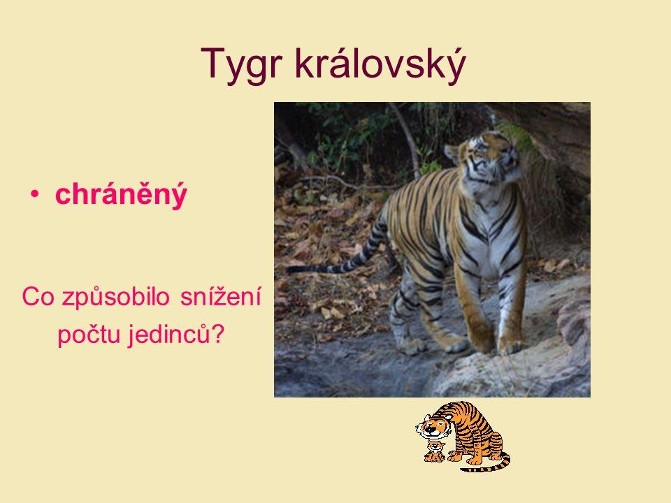 Tygr královský chráněný Co způsobilo snížení počtu jedinců?