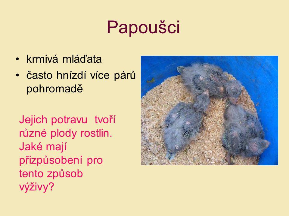 Papoušci krmivá mláďata často hnízdí více párů pohromadě Jejich potravu tvoří různé plody rostlin. Jaké mají přizpůsobení pro tento způsob výživy?