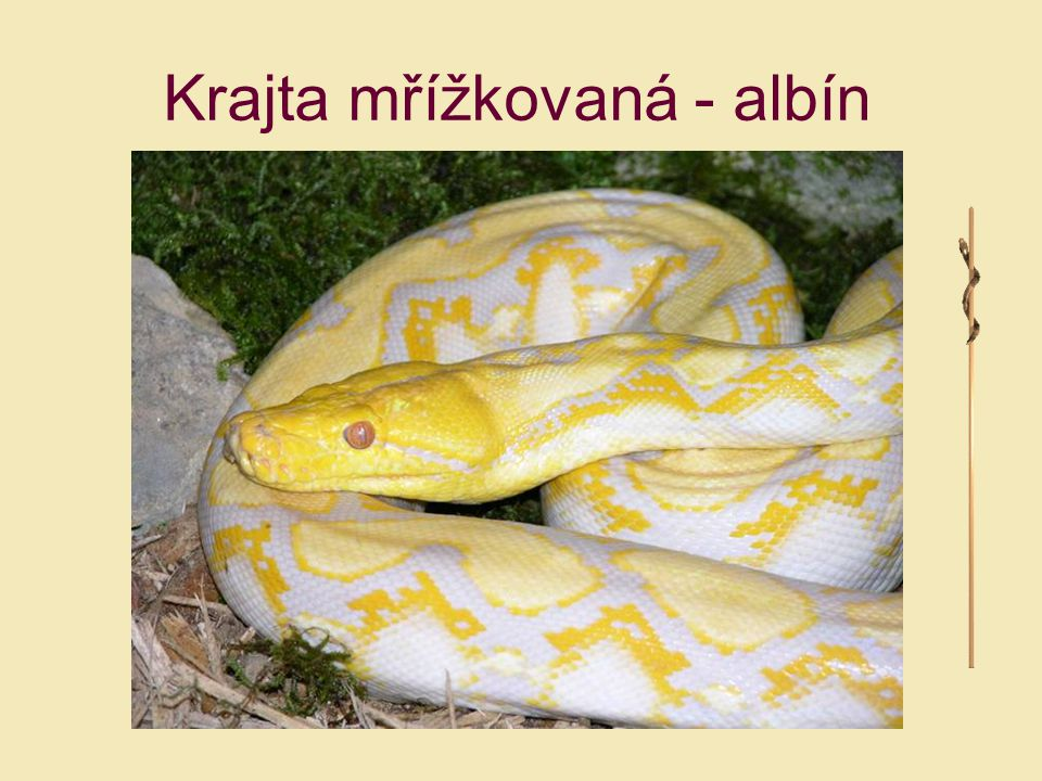 Krajta mřížkovaná - albín