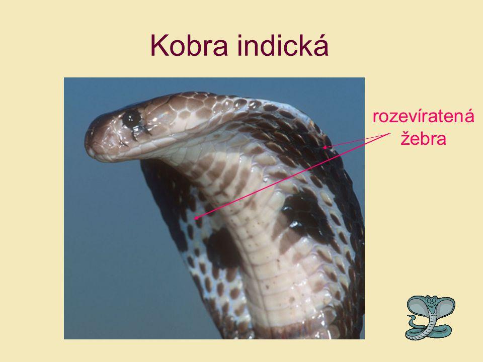 Kobra indická rozevíratená žebra