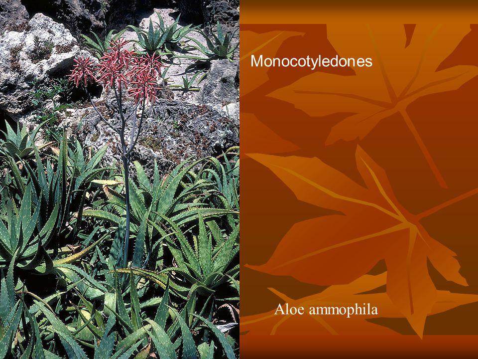 Aloe ammophila Monocotyledones