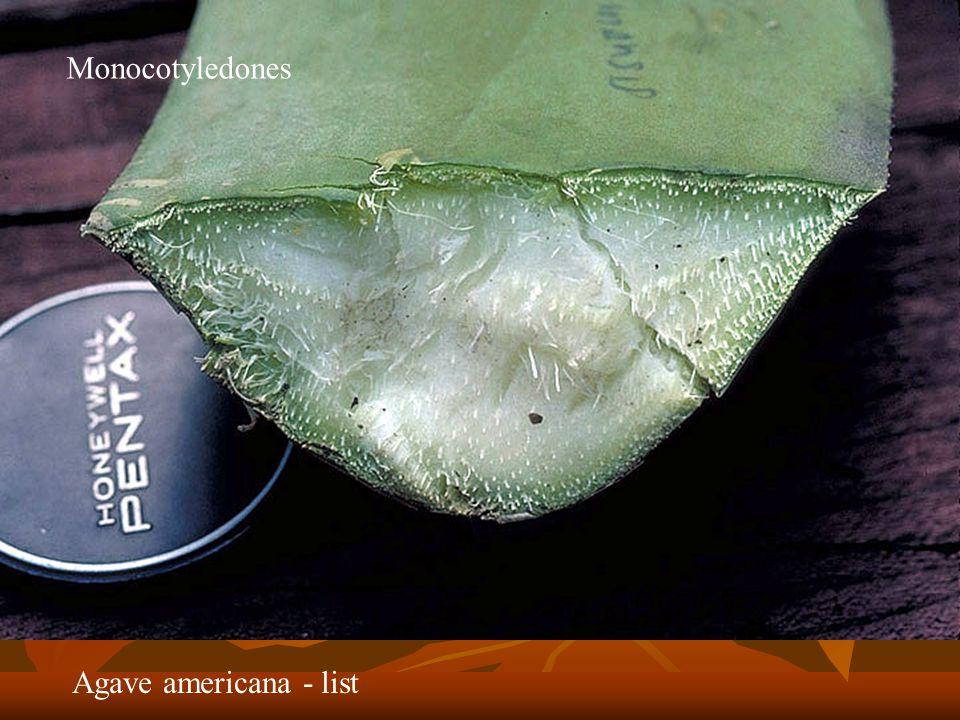 Agave americana - list Monocotyledones