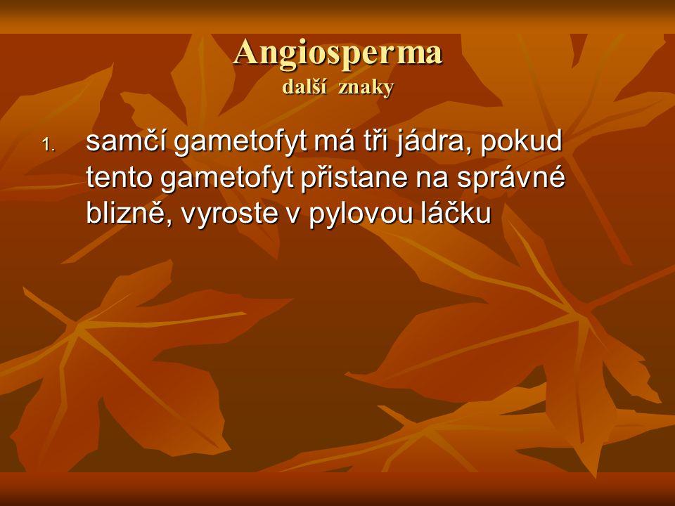 Angiosperma další znaky 1. samčí gametofyt má tři jádra, pokud tento gametofyt přistane na správné blizně, vyroste v pylovou láčku