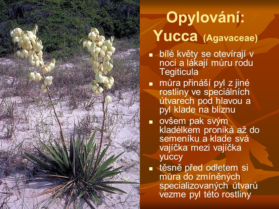 Opylování: Yucca (Agavaceae) bílé květy se otevírají v noci a lákají můru rodu Tegiticula můra přináší pyl z jiné rostliny ve speciálních útvarech pod