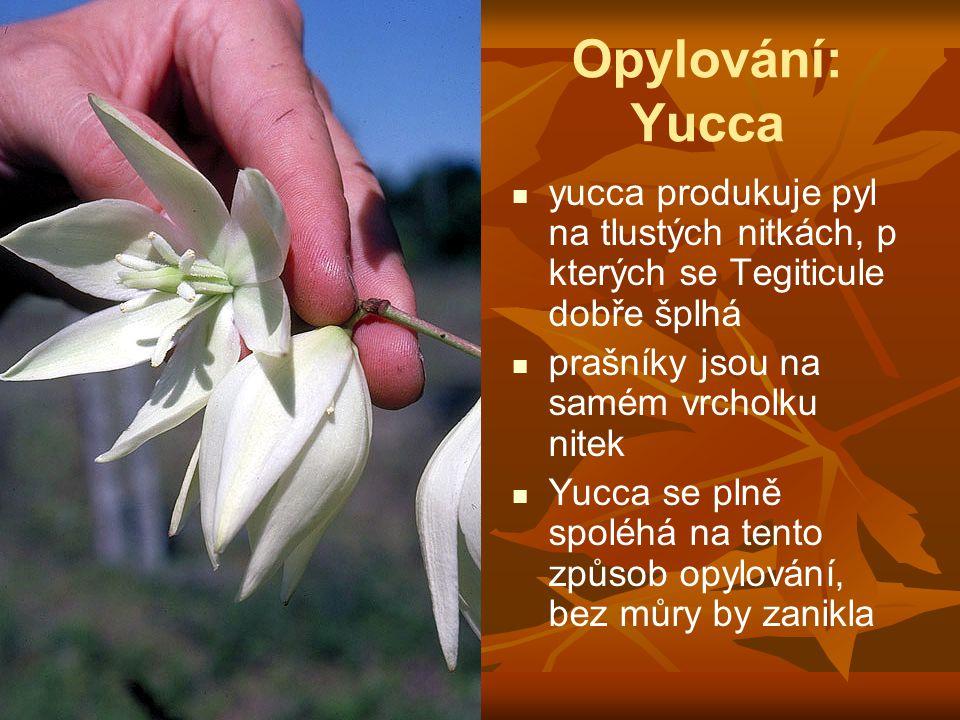 Opylování: Yucca yucca produkuje pyl na tlustých nitkách, p kterých se Tegiticule dobře šplhá prašníky jsou na samém vrcholku nitek Yucca se plně spol