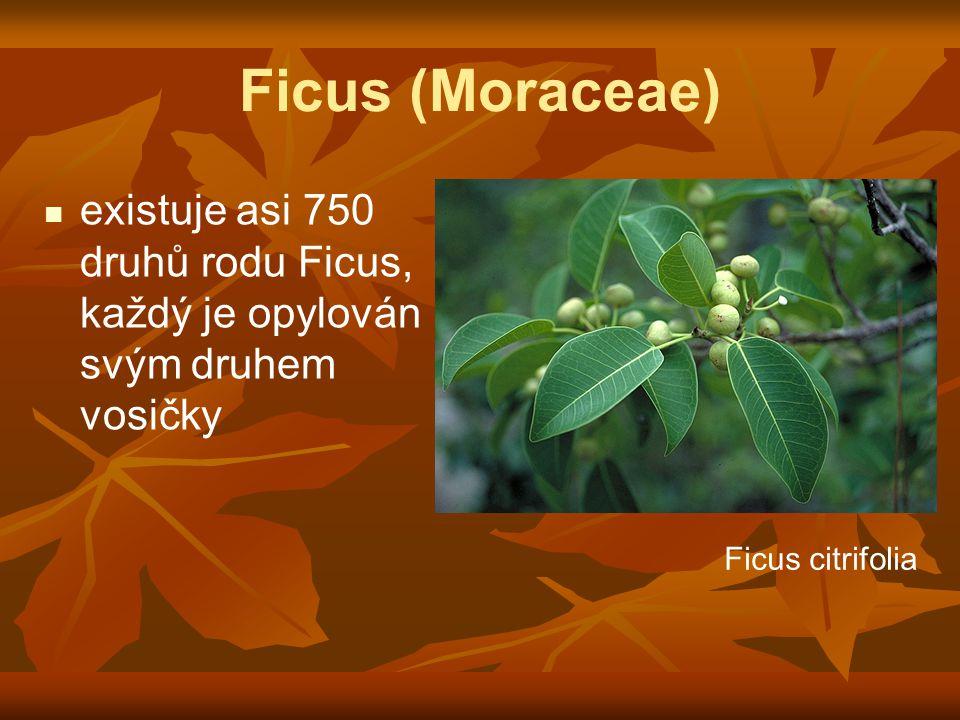 Ficus (Moraceae) existuje asi 750 druhů rodu Ficus, každý je opylován svým druhem vosičky Ficus citrifolia