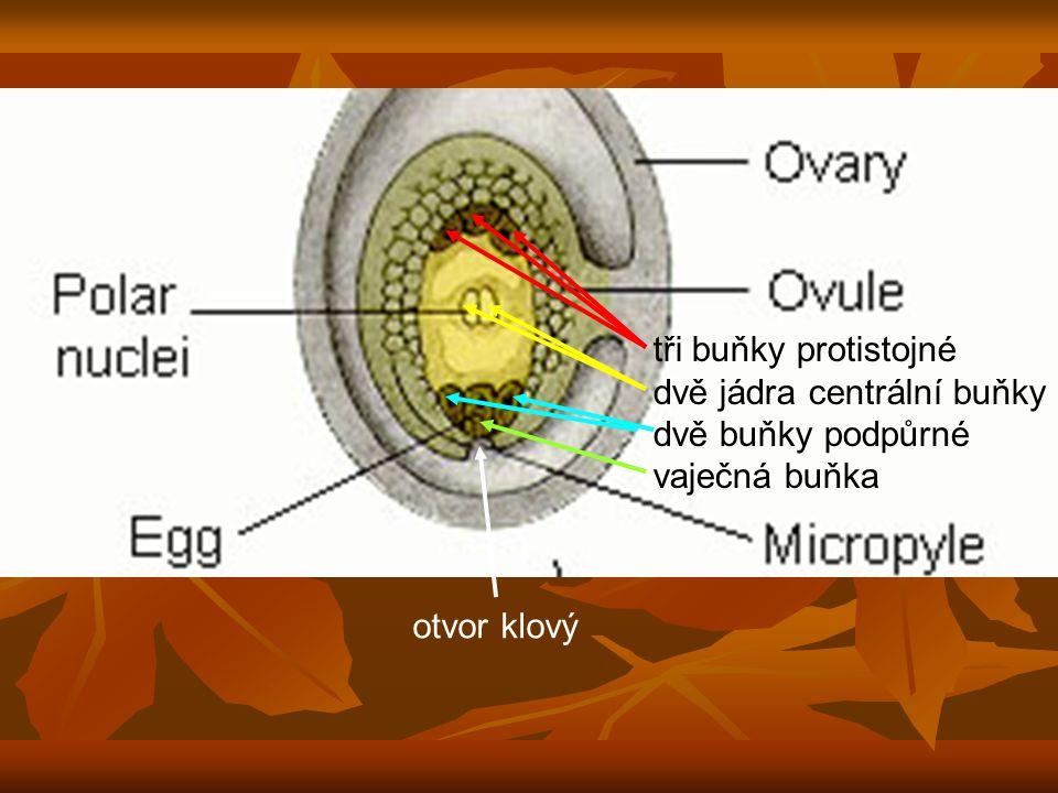 tři buňky protistojné dvě jádra centrální buňky dvě buňky podpůrné vaječná buňka otvor klový